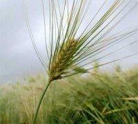 大麦的养生妙用
