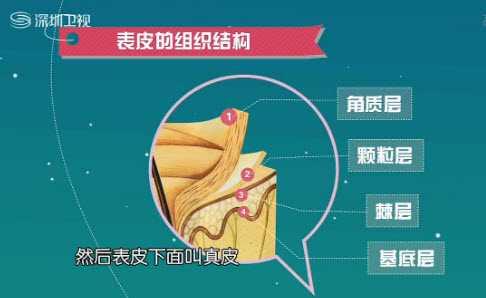 表皮的组织结构